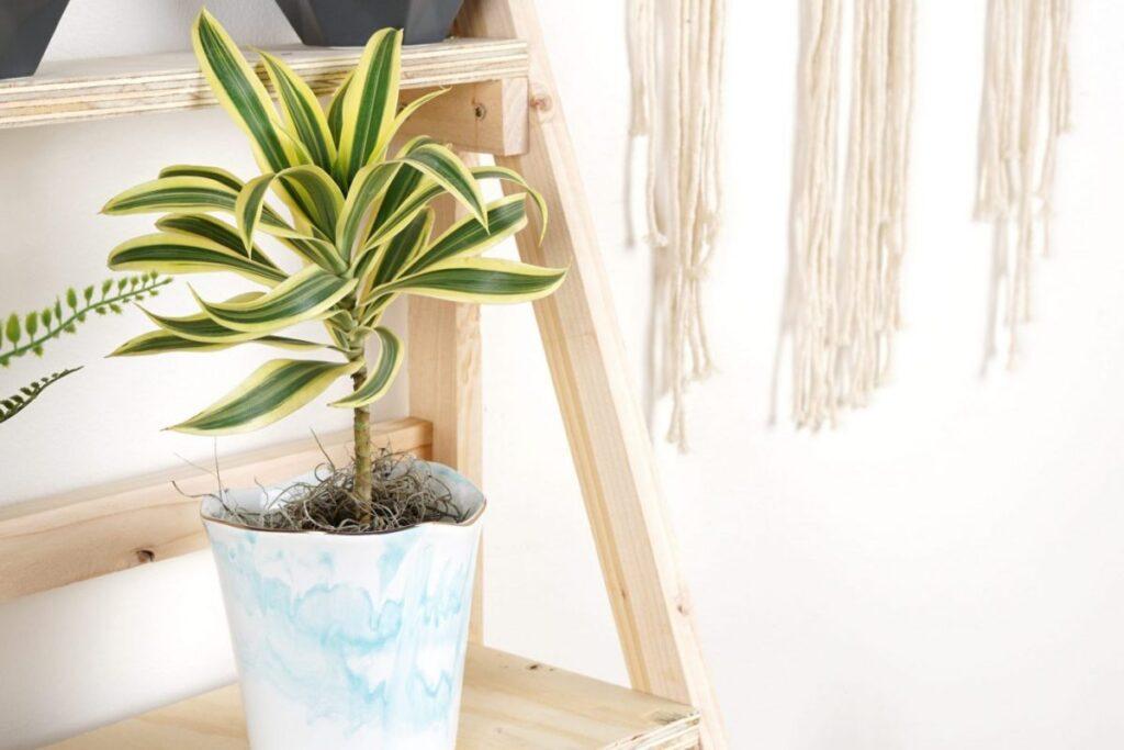 Dracaena plant IKEA indoor home decor office plant care company in Canada