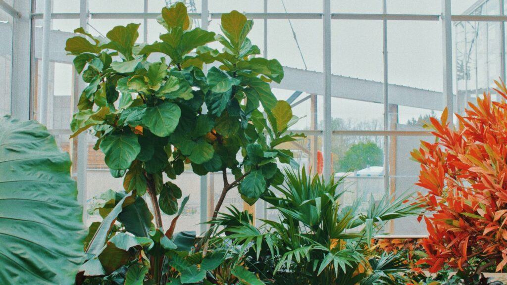fiddle leaf fig best indoor office plants