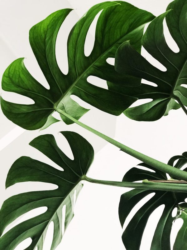 monstera fig tree beauty indoor decor office