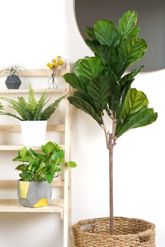 fiddle leaf fig tree indoor plant with plant care service in nova scotia