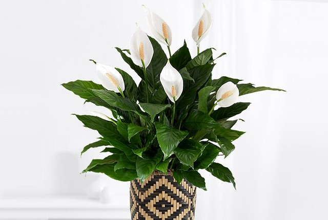 peace lily IKEA basket pot artificial plants