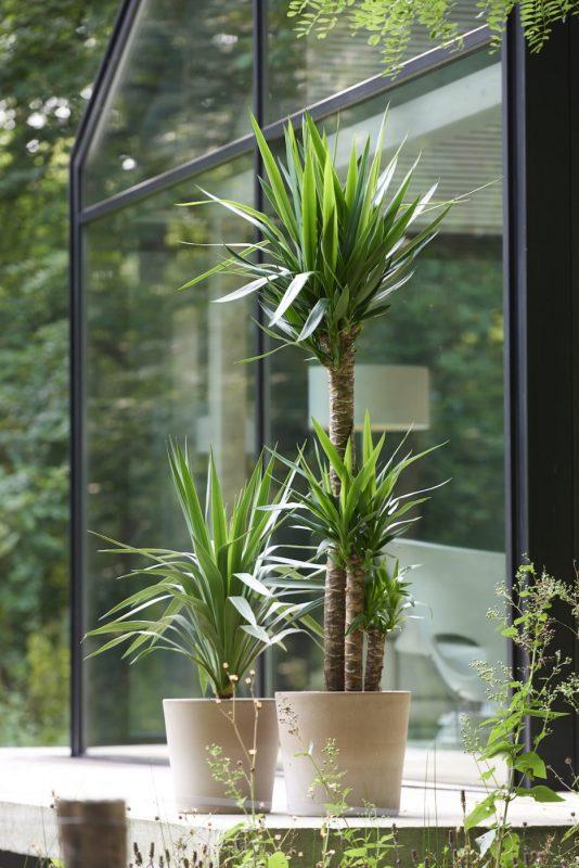 yucca stems