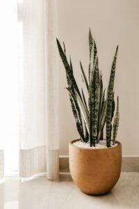 modern office snake plant Sansevieria