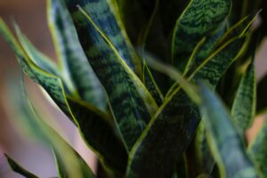 type of snake plants Sansevieria
