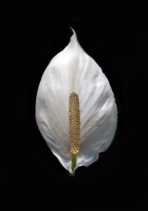 peace lily leave